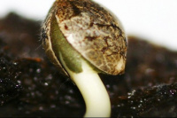 Calingasta: encontraron 5 millones de pesos en semillas de marihuana