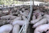 Postergaron la firma del acuerdo con China para la producción de carne porcina