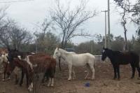 Zonda: encontraron 9 caballos en pésimo estado y uno falleció