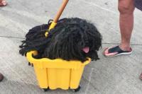 Un perro ganó el premio al disfraz más original de Halloween