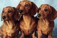 Inauguraron el primer museo de perros salchichas