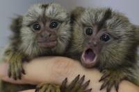 A los tiros con la Policía por dos monos Tití
