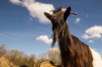 VIDEO: Una cabra drogadicta comienza una nueva vida
