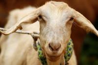 La sucesora del pulpo Paul: esta cabra predijo qué selección ganará el Mundial de Rusia 2018