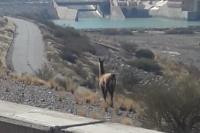 Un sanjuanino encontró un guanaco en pleno Dique de Ullum