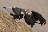 El Faunístico ha logrado la reproducción de una pareja de cóndores