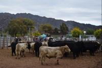 Entregaron toros reproductores a productores ganaderos de Valle Fértil