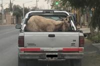 Rivadavia: polémica por la foto de una cabra atada a una camioneta