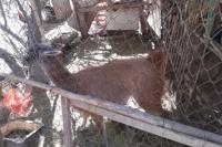 Rescataron un guanaco que estaba en cautiverio en una casa de Chimbas