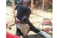 La defensa del dueño del pitbull asesino pidió la excarcelación