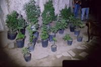 Allanan una casa por un robo y encuentran 22 plantas de marihuana