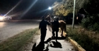 Secuestraron 20 animales sueltos en Valle Fértil